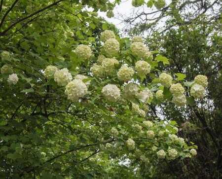 boule de neige: Fleurs blanches de boules de neige, opulus viburnum belle