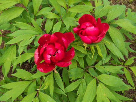 flori culture: Pink peonies in the city botanical garden.