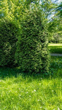 triangle shaped: growing in the shade of the garden triangle shaped trees.