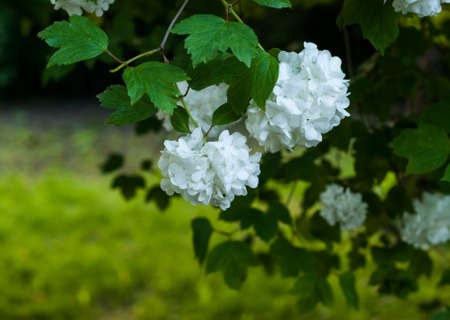 Common snowball viburnum opulus flowers in spring stock photo blooming white balls of viburnum ordinary boule de neige large white ball shaped mightylinksfo