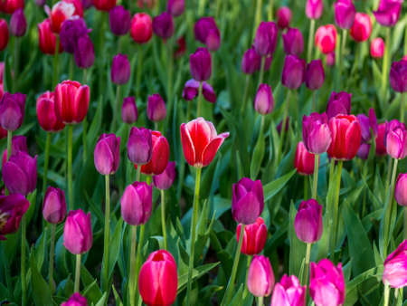 Red tulip with white edges among purple tulips. Selective focus