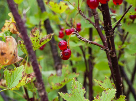 Red berries of a red currant on a branch with blurred background. Stok Fotoğraf