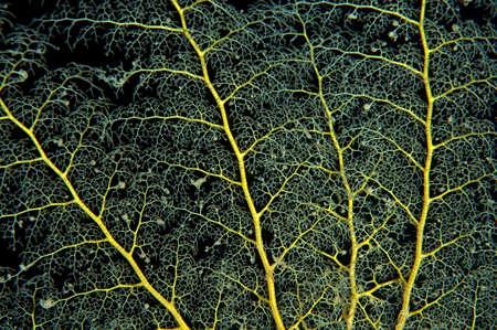 hydrobiology: Basket star, Starfish (Gorgonocephalus caryi) Red Sea, Egypt, Africa Stock Photo