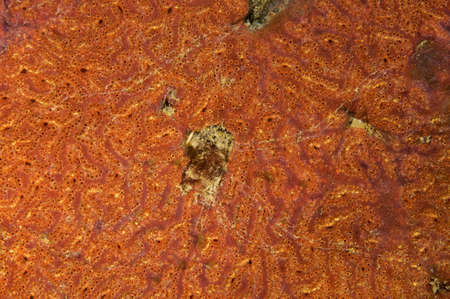 hydrobiology: Colonies of Ascidian (Bortulloides violaceus) Sea of ??Japan, Rudnaya Pristan, Far East, Primorsky Krai, Russia Stock Photo