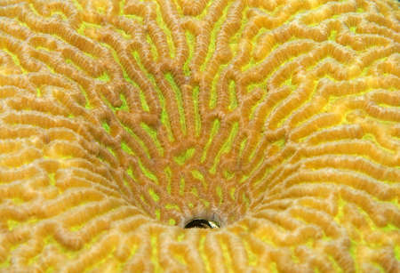 hydrobiology: Coral, close-up, Red Sea, Egypt, Africa