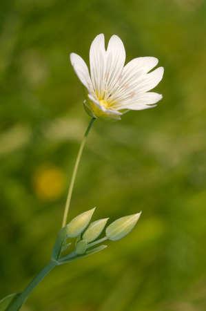 siberia: Wild flowers of Siberia Lake Baikal, Siberia, Russian Federation
