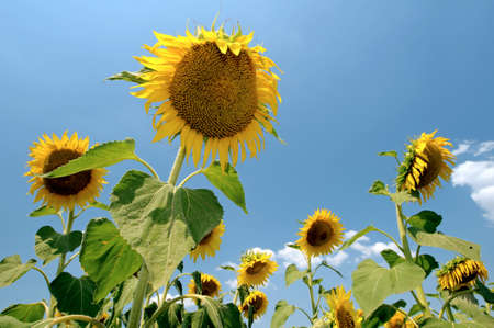 helianthus: Sunflower (Helianthus annuus), sunflower field, Odessa, Ukraine, Eastern Europe