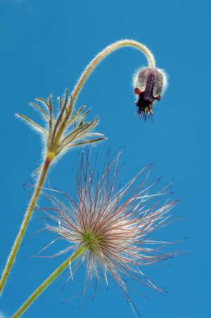 eastern: Eastern pasqueflower (Pulsatilla patens), Ukraine, Eastern Europe