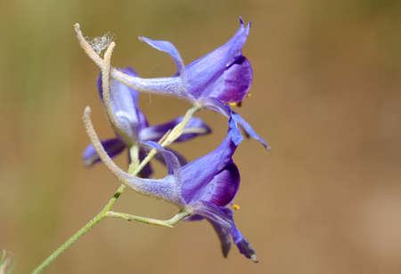 singly: Forking Larkspur, Rocket-larkspur, or Field larkspur (Delphinium consolida) Crimea, Ukraine, Eastern Europe Stock Photo