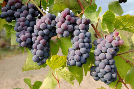 rumania: grapevines