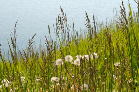 siberia: Dandelion (Taraxacum). Lake Baikal, Siberia, Russian Federation