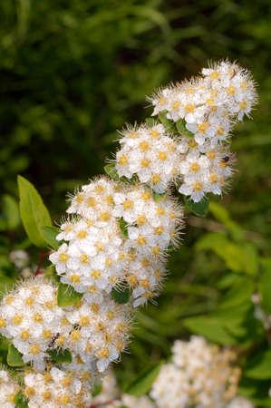 siberia: Wild flowers of Siberia. Lake Baikal, Siberia, Russian Federation.