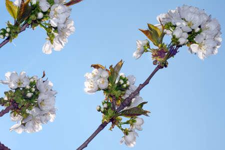 leafed: Blossoming Peach tree (Prunus persica), Ukraine, Eastern Europe
