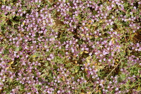 singly: Thyme (Thymus sp) Crimea, Ukraine, Eastern Europe Stock Photo