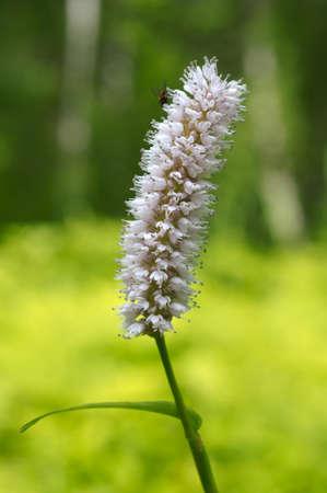 siberia: Wild flowers of Siberia. Lake Baikal, Siberia, Russian Federation Stock Photo