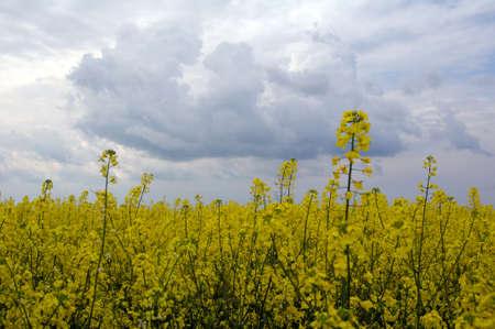 Field of rapeseeds (Brassica napus), Ukraine, Eastern Europe