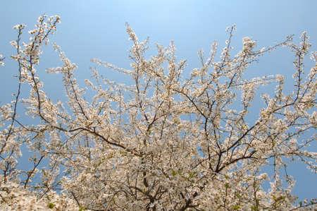 leafed: Blossoming Cherry (Prunus avium), Ukraine, Eastern Europe