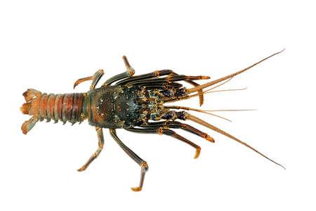 Slipper Lobster (Panulirus versicolor), isolated white background
