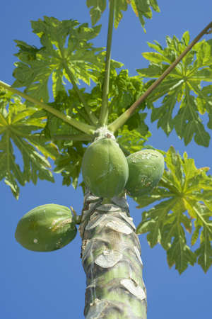 Fruits Papaya, Papaw or Pawpaw, Carica papaya growing on a tree on blue sky background