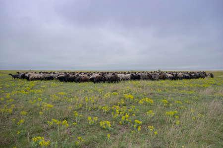 A flock of sheep grazes in the wild flowering steppe. Tarutino steppe, Odessa oblast, Ukraine, Eastern Europe
