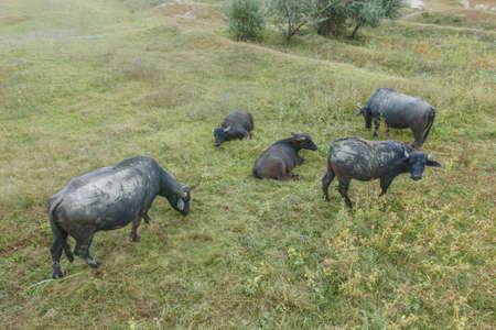 Aerial view - Water buffalo grazing in the reeds. Orlovka village, Reni raion, Odessa oblast, Ukraine, Eastern Europe