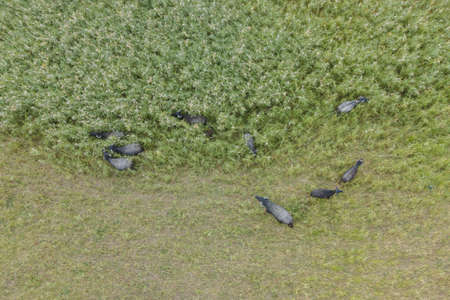 Aerial view - Water buffalo grazing in the reeds. Reklamní fotografie