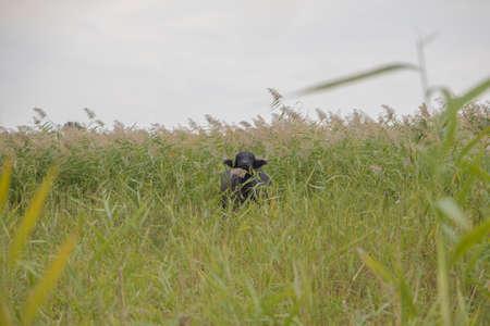 Water buffalo grazing in the reeds. Orlovka village, Reni raion, Odessa oblast, Ukraine, Eastern Europe