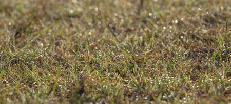Green grass with dewdrops at sunrise. Soft focusÑŽ Orlovka village, Reni raion, Odessa oblast