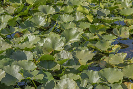 Lake completely overgrown aquatic flowering plant European white water lily (Nymphaea alba). Close-up