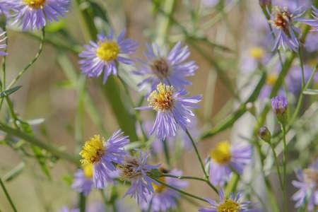 flowering Sea Aster or Seashore Aster (Aster tripolium or Aster pannonicus) in Kartal Eco Park, Orlovka village, Reni raion, Odessa oblast, Ukraine, Eastern Europe