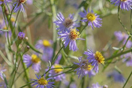 Flowering Sea Aster or Seashore Aster (Aster tripolium or Aster pannonicus,) in Kartal Eco Park. Orlovka village, Reni raion, Odessa oblast. Ukraine, Eastern Europe