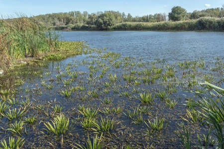 aquatic plant Water-soldier or water pineapple (Stratiotes aloides)