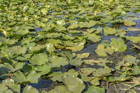 Lake completely overgrown aquatic flowering plant European white water lily (Nymphaea alba) Reklamní fotografie