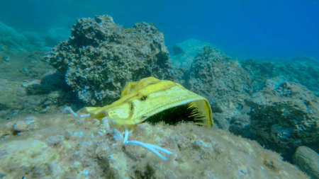 Used yellow medical face mask lies on Sea urchins in rocky seabed. Coronavirus COVID-19 is contributing to pollution, as discarded used masks clutter polluting seas and ocean along with plastic trash