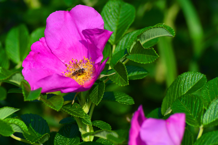 bee on flower: wild rose flower with bee Stock Photo
