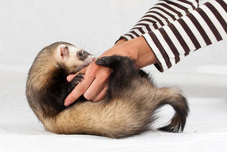 Polecat in studio on white background photo