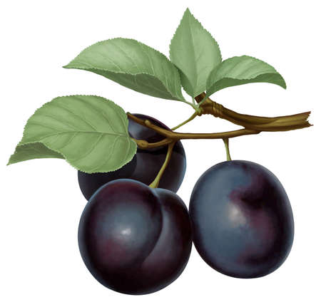 three plums and two leaf hanging on a branch
