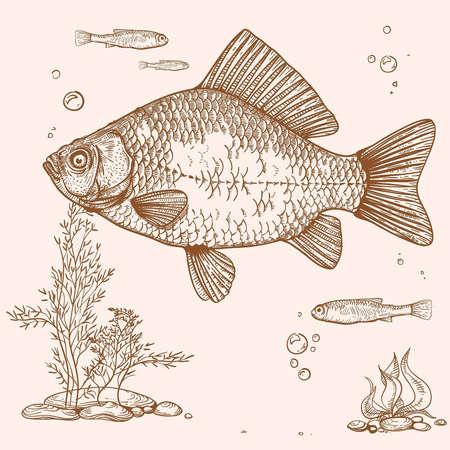 crucian carp: engraving of fish, seaweed, eggs and fry Illustration