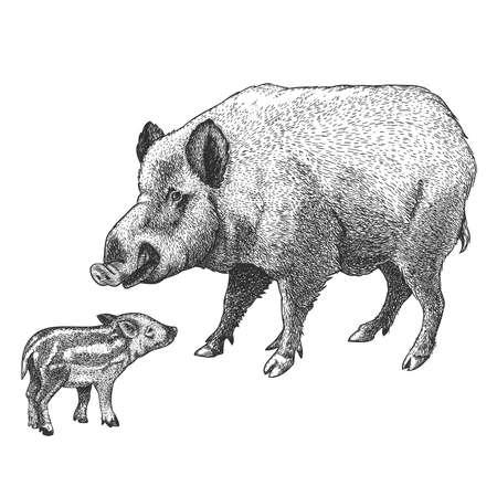 illustratie van wilde zwijnen en varkens in graveren stijl