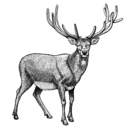 Antique print of a reindeer, isolated on white