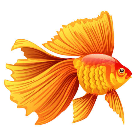 Realistic and detailed vector illustration of a goldfish on white background