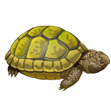 illustration of little turtle on white background Vector