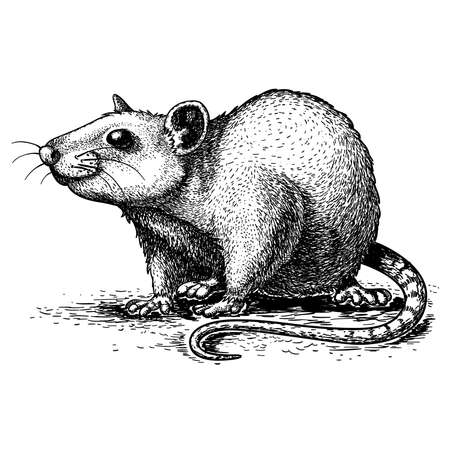 vector illustration of engraving rat on white background Ilustração