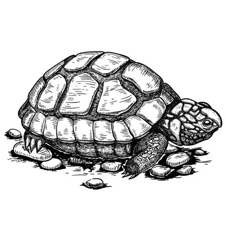 vector illustration of engraving turtle on white background Vector