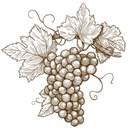 vid: ilustraci�n vectorial de uvas de grabado en la rama sobre fondo blanco