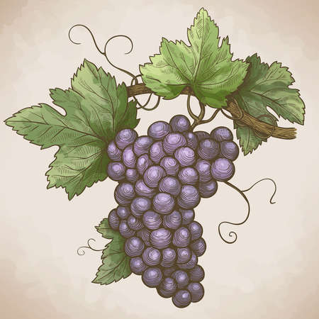 grape leaf: vector engraving illustration of grapes on the branch in retro style