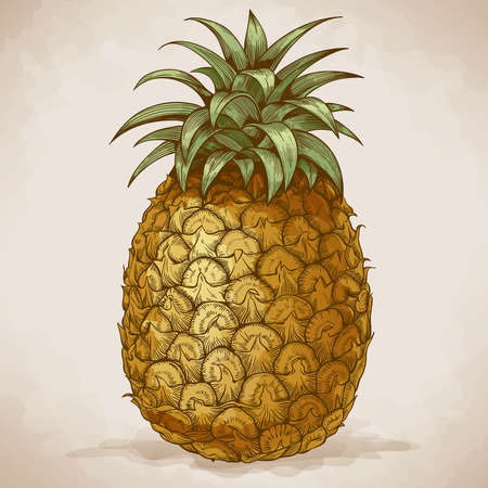 vector engraving illustration of pineapple in retro style Çizim