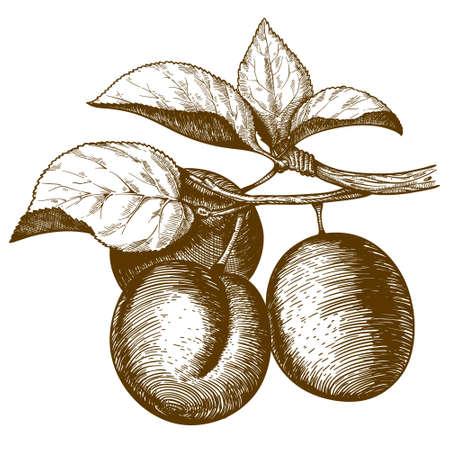 vector illustratie van graveren pruimen op de tak op een witte achtergrond Stock Illustratie