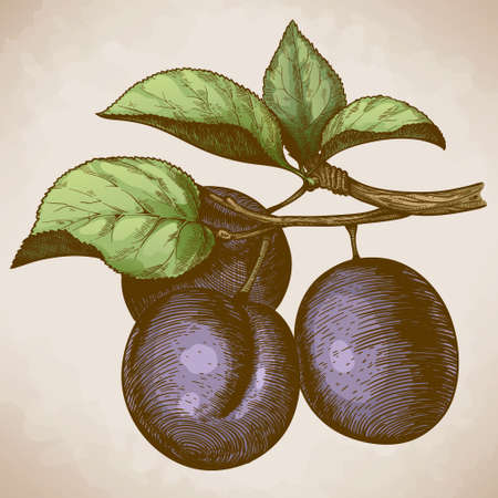 vector illustration of engraving plum on the branch in retro style