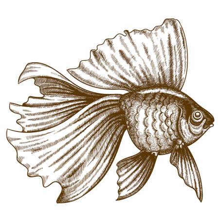 vector illustration of engraving goldfish on white background